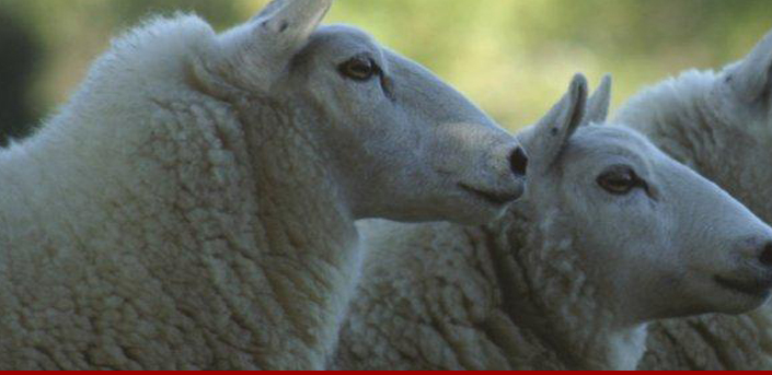 american cheviot sheep society
